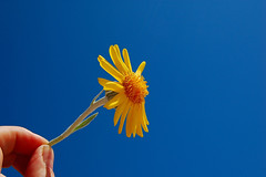 Please don't blow! (Armando Maynez) Tags: voyage travel blue vacation sky flower beauty field yellow composition work hope during daylight goal nikon day hand finger think joy pipe aspiration here envisage indoors desire fantasy delight sphere fancy daisy imagine athome inside traveling wish ideal 1855 nikkor piece marvel armando arrived vacaciones oeuvre pleasure opus trance ambition within featuring inwards delusion hallucinate visualize fantasize dreamcastle d40 ofin challengeyouwinner appearingin takingpartin participatingin flickrchallengewinner inin myfacebook maynez inhallucination armandomaynez