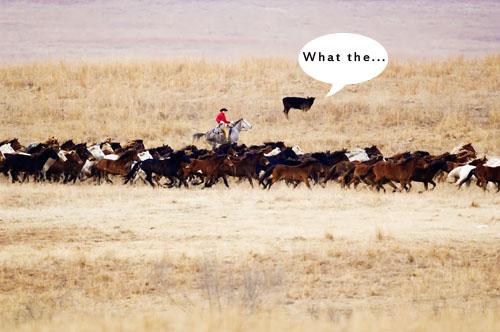 gathering mares 033
