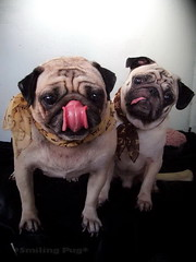 *SMILING PUG* - HAPPY VALENTINE'S DAY, FROM THE SWEETHEART PUG, MEL B & BUGBABY *-* (*SMILING PUG*) Tags: b dog bunny love smile smiling thailand happy holidays bangkok c smiles pug valentine mel valentines pugs buggy puggy k9 bambam    bugboy  diamondclassphotographer bugbaby smilingpug