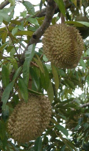 durian growing on tree