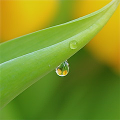 Listen to the rhythm of the falling rain (cattycamehome) Tags: flowers macro green love water floral rain yellow closeup tag3 tagge