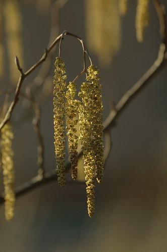 Alnus glutinosa - Grauwe els