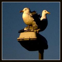 two of them (qletsqop) Tags: seagulls birds vogels lightpost lantaarnpaal zeemeeuwen supershot mywinners qletsqop
