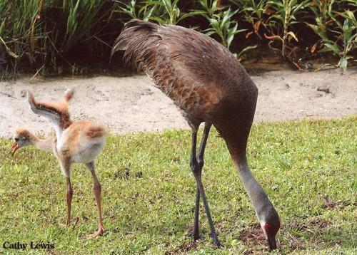 sand hill crane