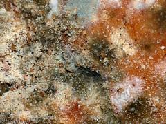 Bread Mould - I (PuffinArt) Tags: macro closeup lumix decay panasonic fungus puffinart mold mould fz30 moldy spores mouldy fungo breadmold fungos dcr250 raynox decomposio vandamalvig zygomycota rhizoids sporangiophore mucor sporangium bolor stolon breadmould funguses filamentousfungi rhizopusstolonifer bolorento