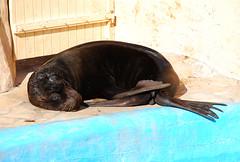 Siesta (Caveni) Tags: dolphin orca antibes marineland orque marinelandantibes