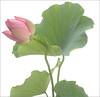 Lotus Flower - IMGP0718 Pink Lotus Flower