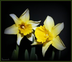 **Yellow gold blossoms** (Queenscents) Tags: flowers light white black flower green nature leaves sign yellow japan petals flickr signature petal explore frame daffodil daffodils narcissus yelloworange fpc masterphotos platinumphoto queenscents