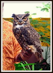 Great Horned Owl - Bubo virginianus - fierce predator (blmiers2) Tags: bird nature beautiful birds canon geotagged florida great feathers disney powershot disneyworld raptor owl g6 captive animalplanet picnik raptors animalkingdom owls avian birdofprey greathornedowl horned strigiformes bubovirginianus flightsofwonder strigidae nikond40x trueowl plumicorns greathornedowlbubovirginianusfiercepredator blm18 blmiers2