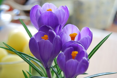 kitchen crocuses