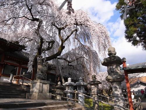 氷室神社(しだれ桜)-03