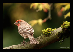 House finch in the budding japanese maple (electra-cute) Tags: tree bird oregon garden portland moss maple housefinch carpodacusmexicanus gardenblog
