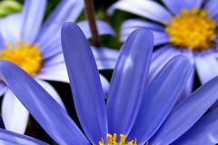 Indaco (raffaphoto©) Tags: flowers blue macro nature yellow soe naturesfinest singintheblues supershot indaco abigfave platinumphoto anawesomeshot theunforgettablepictures