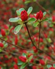 Wakehurst063 (nikrick90) Tags: flower flora azalea floraandfauna