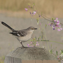 Mockingbird on post (wolfpix) Tags: friends bird birds birding pssaro uccelli northernmockingbird pajaro aus vgel birdwatching oiseau mockingbird mimuspolyglottos vogel oiseaux uccello  fglar zog fgel lintu ibon topshot naturesfinest ptci    americaamerica eastshorestatepark mimuspolyglottus canonpowershots3is  naturesgallery ruiseor avianexcellence excellenceinavianphotography diamondclassphotographer birdsphotos  moquer awesomepictureaward feathersbeaksbirds 100commentgroup thewonderfulworldofbirds lintujen  shpendve ptakicc moquerpolyglotte
