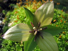 red trillium and moss