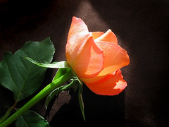 Here and Now (Gary*) Tags: light sunlight flower macro rose themoulinrouge blueribbonwinner lovephotography platinumphoto ilwy mondocafeclub