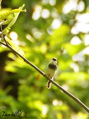 Grey-Breasted Prina (Prinia hodgsonii) (Z.Faisal) Tags: green bird nature birds nikon natural beak feathers aves nikkor prinia bangladesh avian franklins bipedal bangla faisal desh d300 zamir prina rajendrapur hodgsons pakhi endothermic greybreastedprinia greybreasted hodgsonii wrenwarbler nikkor18200mmvrii zamiruddin goldenpalmaward zamiruddinfaisal zfaisal