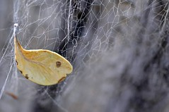 leaf in Spider web (Mr Abri) Tags: trip friends shadow cold macro field silver al women ant mother son jewellery rings ear antiques bracelets farmer oman muscat shams nizwa jabal pendants muttrah abdullah  anklets hamra omani blueribbonwinner   supershot   omania bej mywinners abigfave platinumphoto anawesomeshot     goldstaraward  alabri