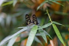 baudchon-baluchon-mindo-papillons-42