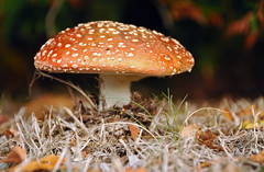 golden cap (definitelyjess) Tags: park red newzealand brown white green mushroom field grass golden fungi spots cap fungus toadstool amanitamuscaria teanau gill capped patches amanita poisonous flyagaric