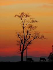 Silueta 2/ Silhouette 2 (zubillaga61) Tags: sunset landscape arbol paisaje silueta ocaso vacas