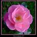 Henley Pink Rose
