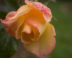 Yet another rose (SheelahB) Tags: flowers sanfranciscoconservatoryofflowers