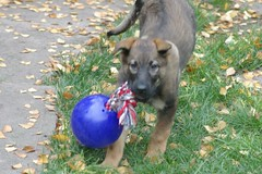In Aciton (cwgoodroe) Tags: dog color cute fall face tongue closeup ball puppy fur toy spring furry play fuzzy shepherd watching guard ears canine running run german cuddle stick chew gnaw attention playful ran trot shephard guarding k9 germanshephard observant gsd cutepuppy alet sephard germanshepherdeyes
