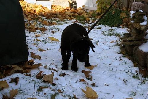 Labrador Retriever Puppy Midnight