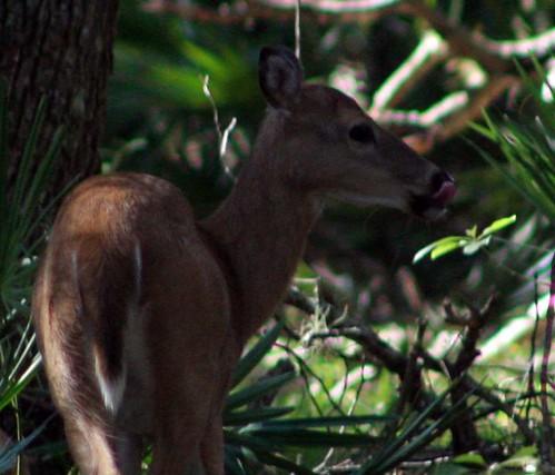 deer crop 1