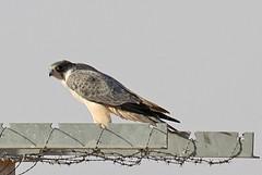 032054-IMG_4829 Grey Falcon (Falco hypoleucos) (ajmatthehiddenhouse) Tags: greyfalcon grayfalcon falcohypoleucos falco hypoleucos sa southaustralia bird 2007 australia