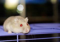 Red_Eyes (aZ-Saudi) Tags: red eyes nikon arabic saudi arabia hamster d200 ksa همستر همتارو arabin هامستر ِarabs