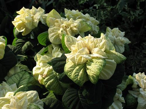 "Poinsettia ""Winter Rose White"""