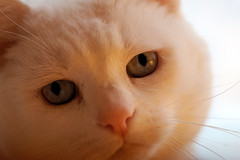 Blue Eyed Beauty (Emmy Gee) Tags: white cat blueeyes dutchess pinknose