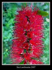 Flaming Red (susie 1) Tags: friends red plant macro green beautiful spiky pretty purple lovely blooming novideo goldenmix impressedbeauty ilovemypic wonderfulworldmix thatsbostin