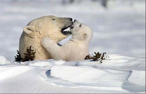 Polar Mothere & Cub.jpg
