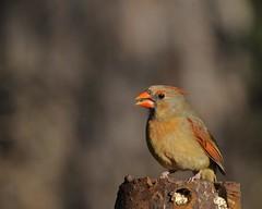 Northern Cardinal (Misanthrope_) Tags: bird nature animal forest nikon texas photographer sam wildlife houston national excellent awards tamron 200500 d300 platinumphoto goldstaraward showmeyourqualitypixels