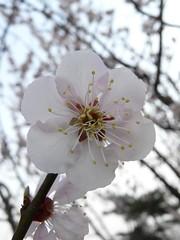 Plum Macro 11 (Kelvin Song) Tags: macro festival japan plum ome plumflower