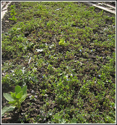 broadbeans in green manure copy
