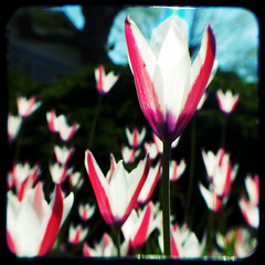Tulips (rustman) Tags: tulip pentaxistd fllower ttv argus75 throughtheviewfinder ttvjpegcomp
