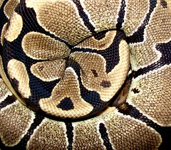 "Sleeping ""Princess"" (EcoSnake) Tags: sleeping animals princess wildlife hiding snakes ballpython herps royalpython pythons abigfav"