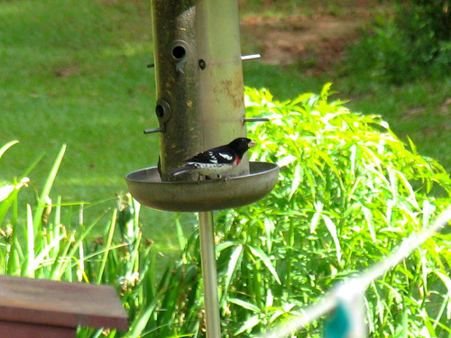 CrabAppleLane Rose-breasted Grosbeak - April 20, 2008