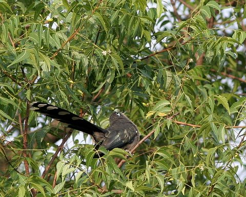 blue-faced malkoha yoga pose in neem tree 190408