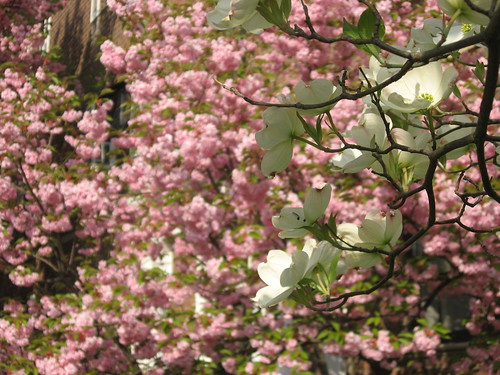 Blossoms in the Front Yard