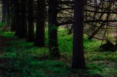 Well established (Thankful!) Tags: tree nature mississauga spruce orton riverwoodpark