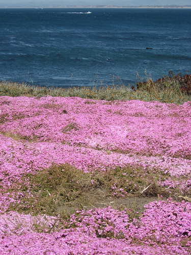 Pink Carpet, Monterey Bay