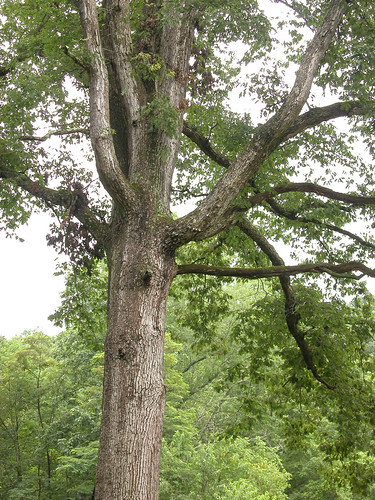 oak - growth habit