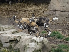 Painted dog pups play fighting (LadyRaptor) Tags: yorkshirewildlifepark yorkshire wildlife park doncaster ywp nature outdoors animal animals cute canidae canine canines den rocks african wild hunting painted dog dogs pups puppies litter pack play playing fighting chase chasing lycaon pictus