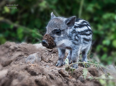 piglet (agilerkan) Tags: wildboar piglet animal baby forest nature